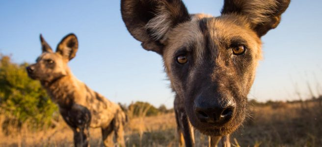 https://www.worldwildlife.org/magazine/issues/winter-2017/articles/brandon-davis-uses-improved-tracking-collars-to-keep-african-painted-dogs-roaming-free